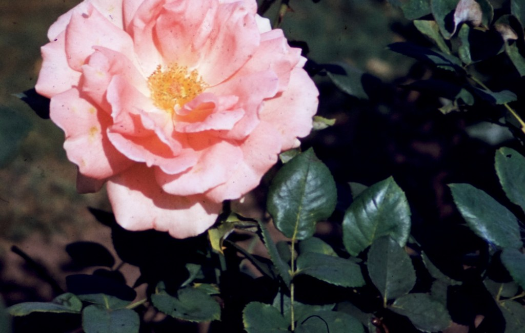Lake Harriet Rose Garden – Lyndale Rose Garden