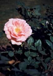 Lake Harriet Rose Garden - Lyndale Rose Garden