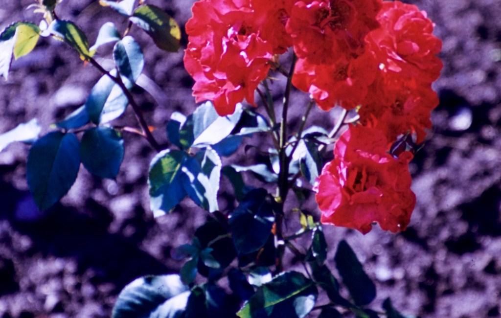 Lake Harriet Rose Garden – Unknown