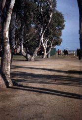 Santa Monica - Palisades Park - Eucalyptus Trees