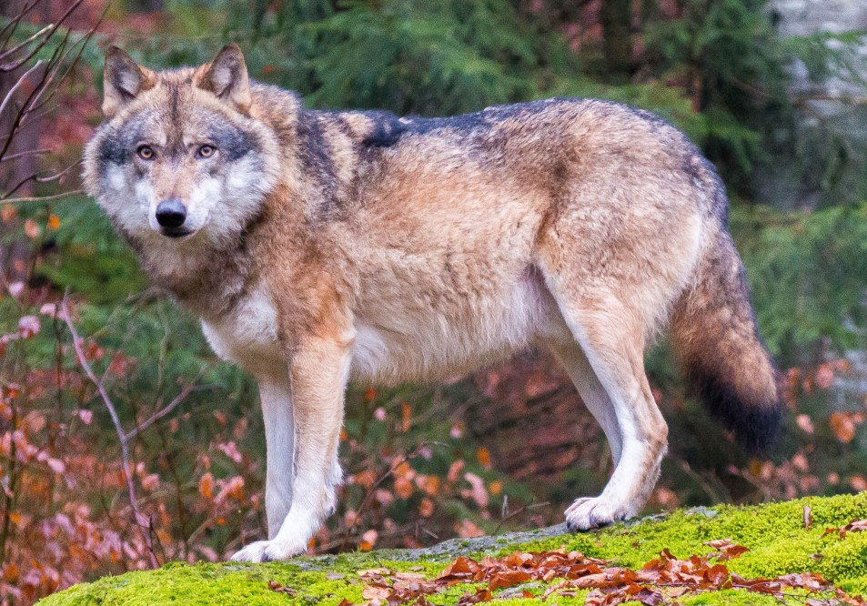 dog domestication: Grey wolf in Bavarian Forest National Park
