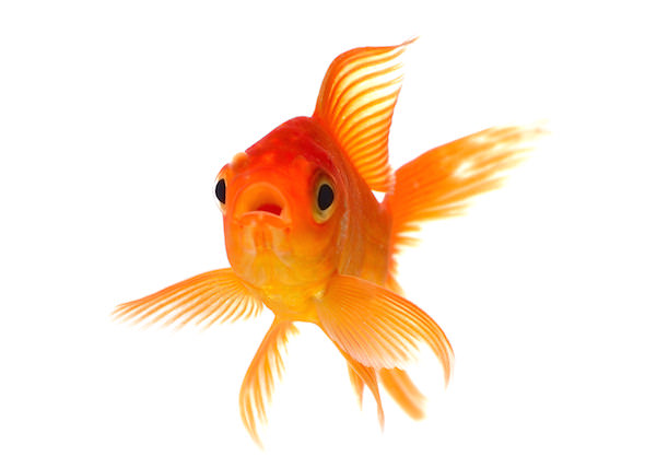 The myth of the goldfish-sized attention span
