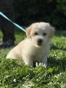 Dog. Fluffy white border collie - poodle cross