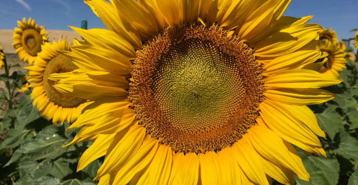 Photo of a large sunflower