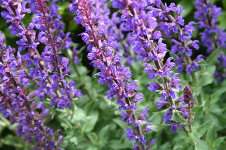 https://blog.serenataflowers.com/pollennation/wp-content/uploads/2016/05/salvia_blue_queen.jpg