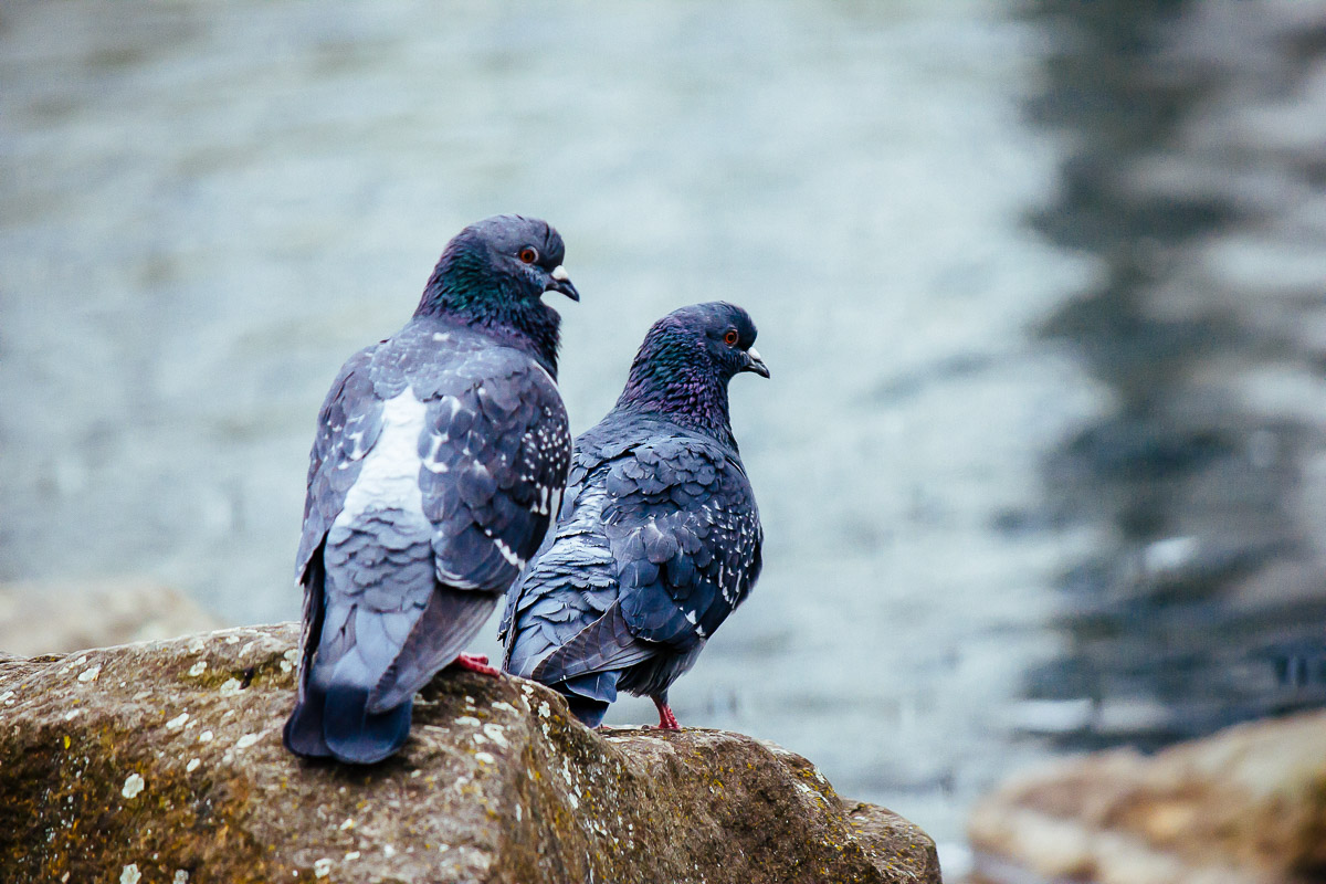 pair of pigeons with water surface in background