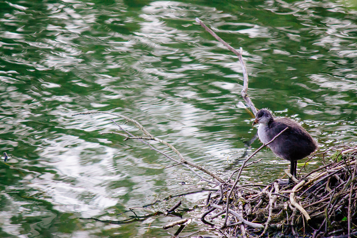baby coot standing in nest with green water background