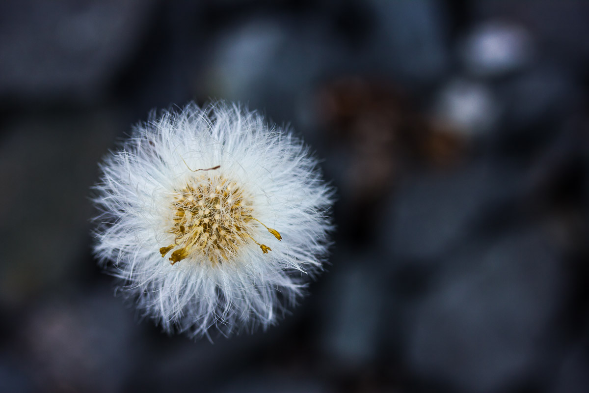 withered white thistle blossom with blurry grey background