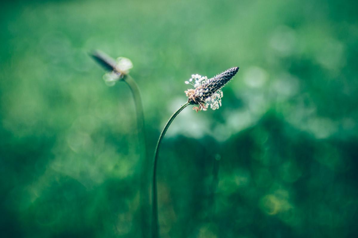 Spitzwegerichblüten vor unscharfem grünen Hintergrund