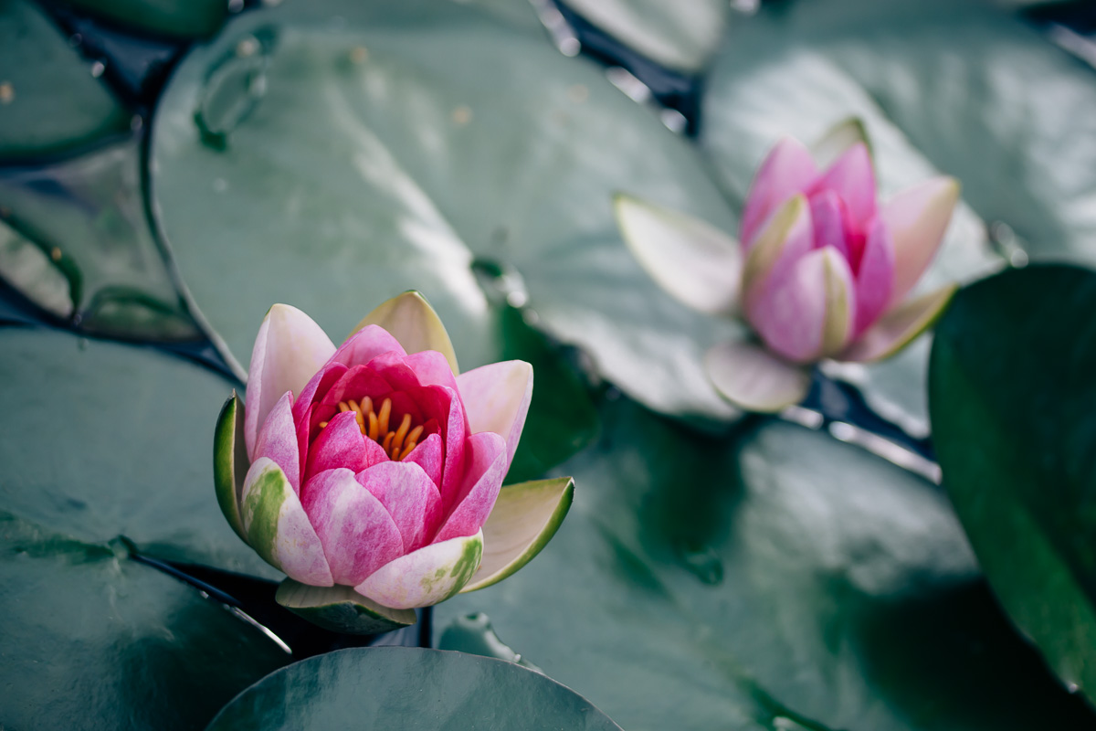 Two blossoms of a pink pond lily between dark green leaves