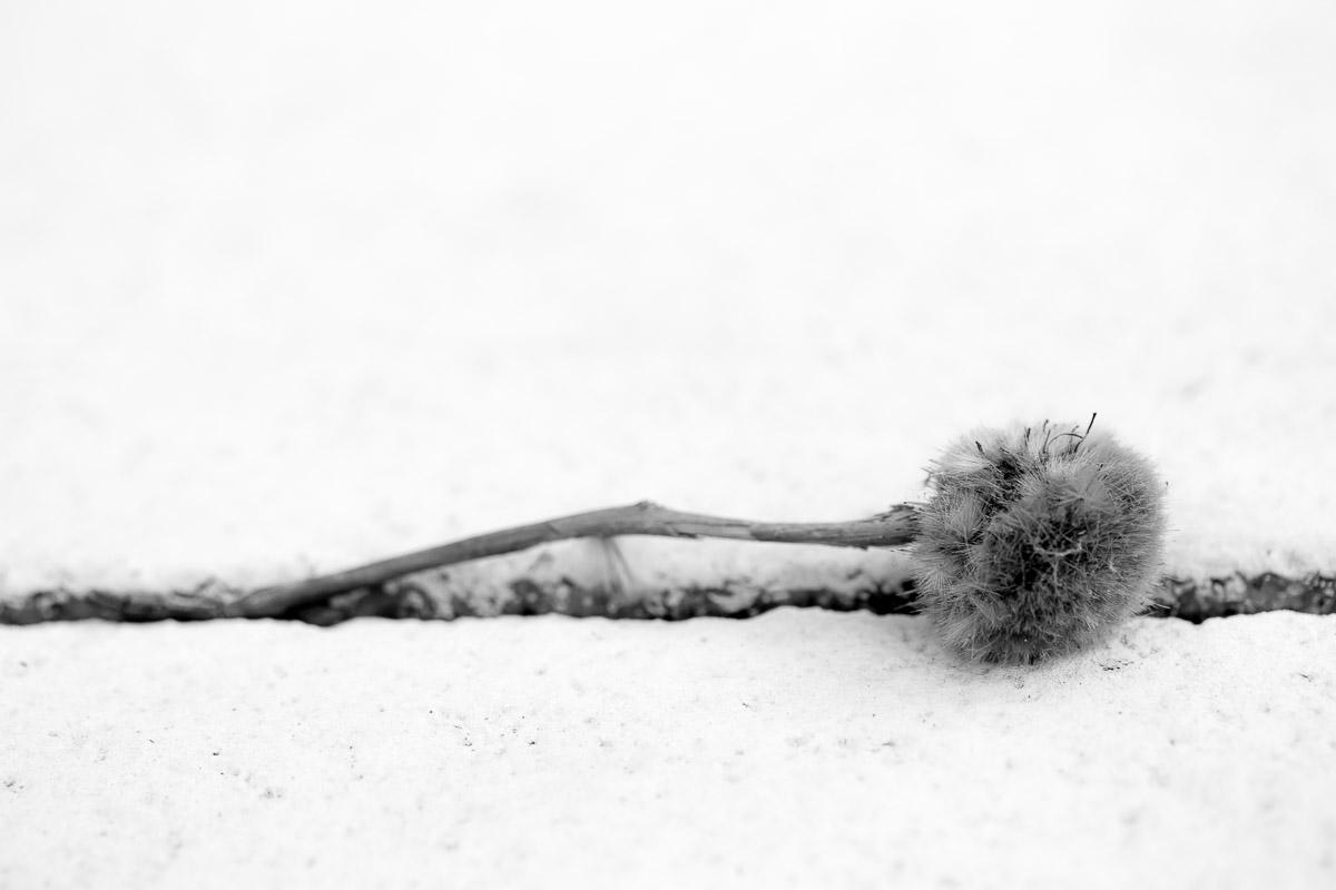 Samenkapsel einer Platane in einer Spalte zwischen Steinfliesen