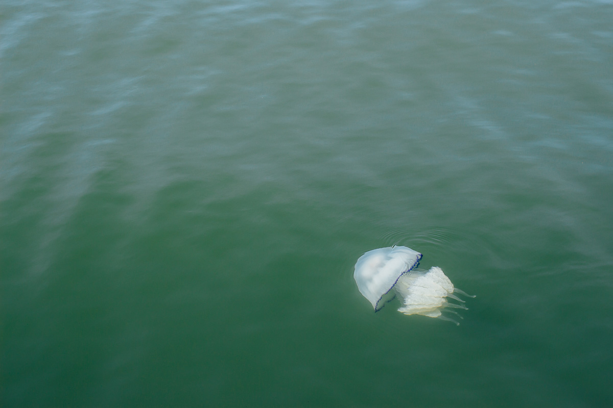 Large jellyfish in green water