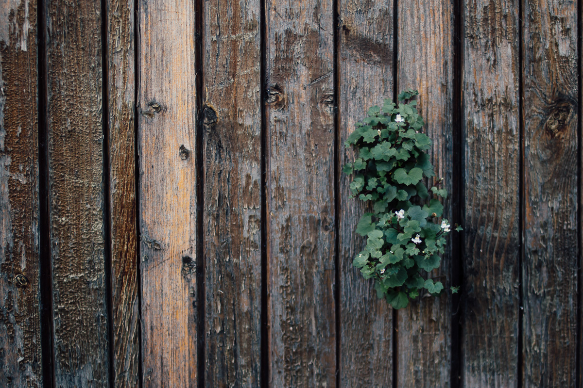 Small flowers growing out of a wooden wall