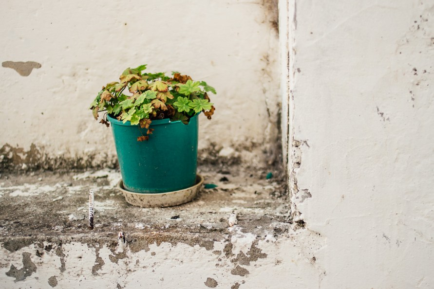 Plant in turquoise pot on weathered white wall