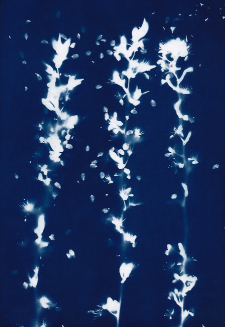 Cyanotype of flowering blackthorn
