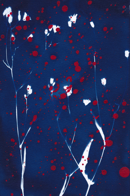 Cyanotype of mouse-ear hawkweed with splashes of red acrylic paint