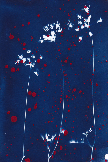 Cyanotype of delicate wildflowers with splashes of red acrylic paint