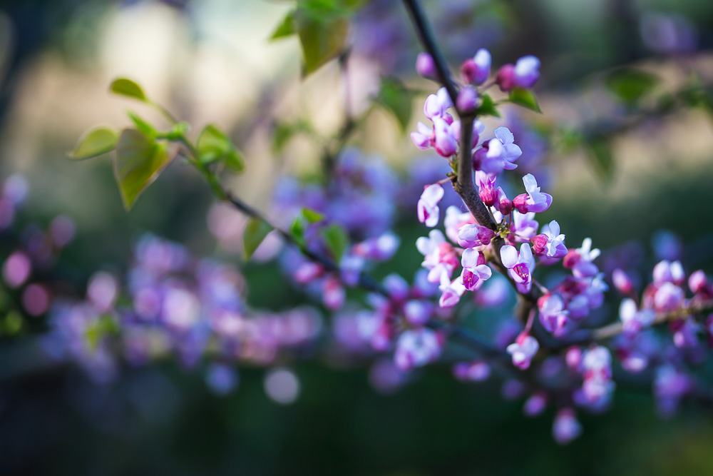 Branch of a flowering Judas tree with pink blossoms