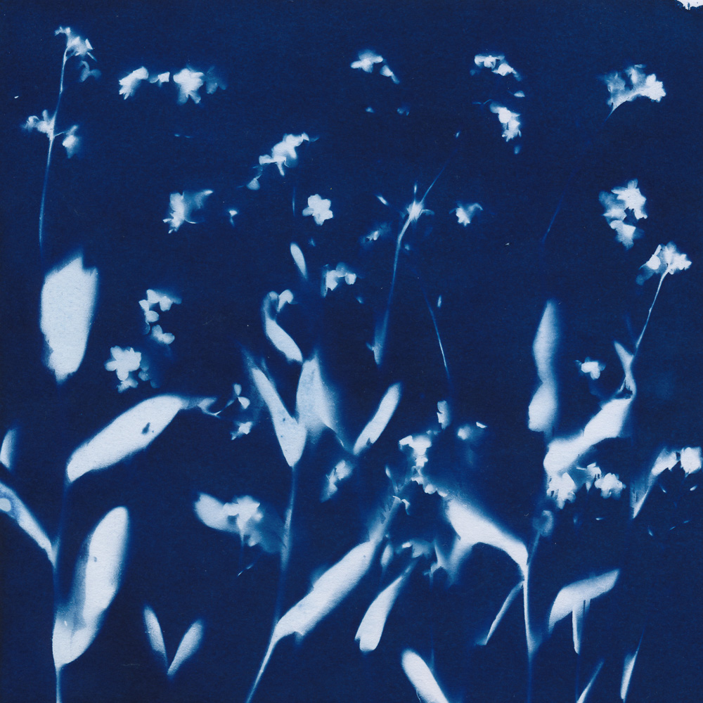 Cyanotype of flowering forget-me-nots