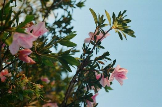 Fotografia Analógia de Flores  - davipinheiro.com