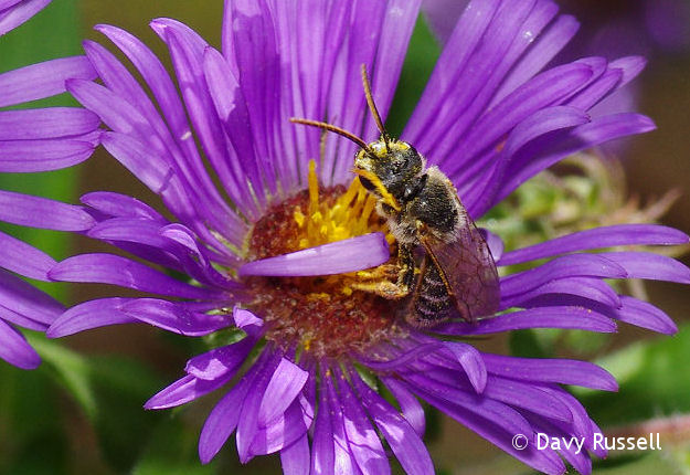 New England Aster with Native Bee