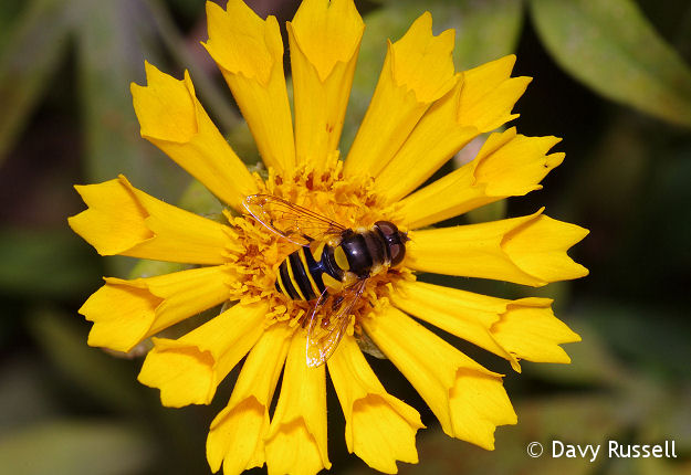 Syrphid fly on tickseed/coreopsis.
