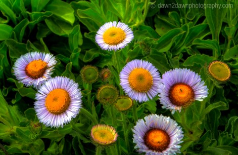 Flowers bloom along the California Coastline near Big Sur