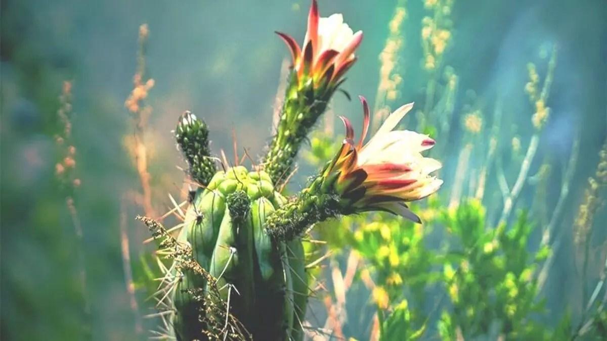 Huachuma (San Pedro Cactus)