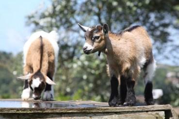 kid-goats-1212631_1280