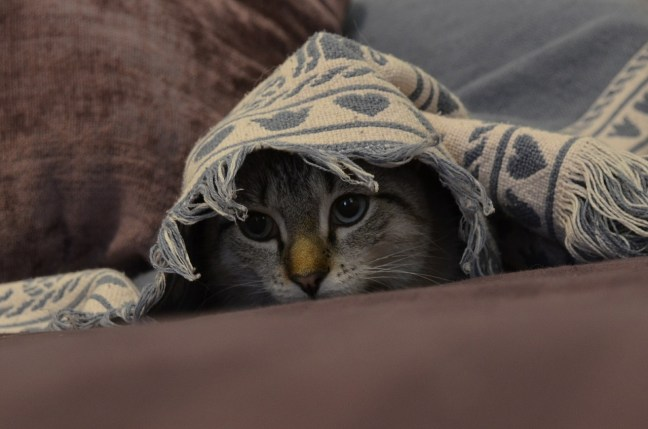 tabby cat peeking out from beneath a blue and white woven blanket