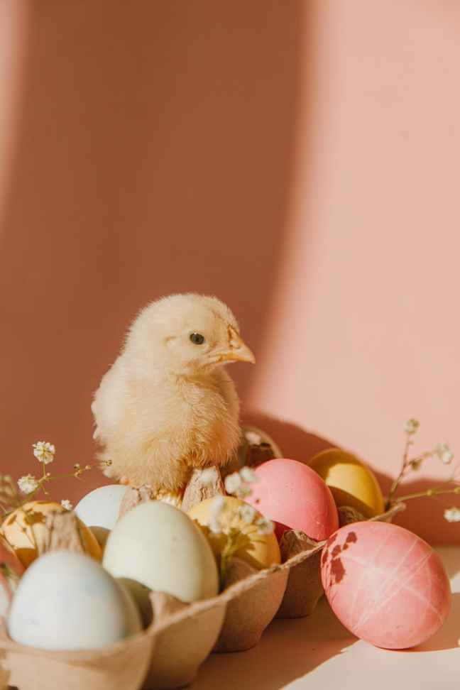 chick & colored eggs in an egg carton with baby's breath flowers.