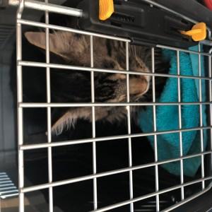tabby kitten seen through the metal grid of a pet carrier door