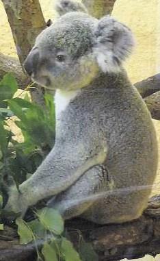 Mullaya heißt der Publikumsliebling des Dresdner Tierparks. Der Koala im Prof. Brandes-Haus und sein Artgenosse Iraga werden täglich 10.30 Uhr gefüttert sowie mittwochs und sonntags jeweils um 11 Uhr gewogen. Foto: Birgit Hilbig