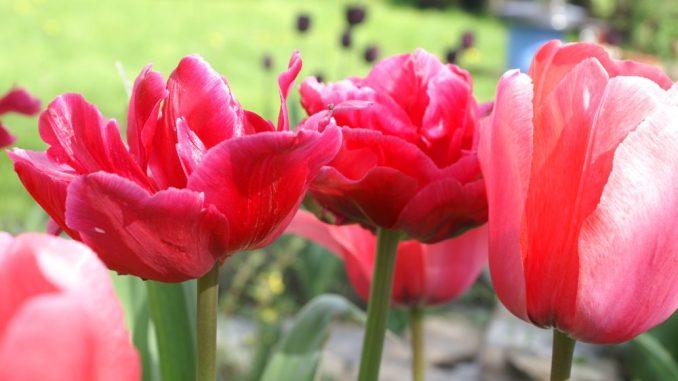 Tulpen gehören zu den beliebtestem Diebesgut bei den Pflanzen. Foto: Thessa Wolf