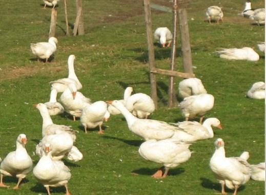 Glückliche Gänse sind auf dem Bauernhof Kühne selbstverständlich.