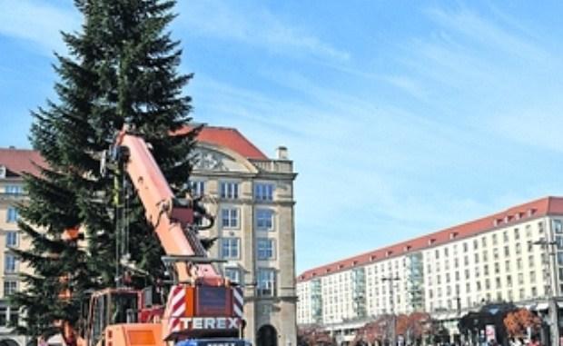 Die Aufrichtung des diesjährigen Striezelmarktbaums, einer Weißtanne aus Lauenstein, lockte zahlreiche Schaulustige an. Foto: Thessa Wolf