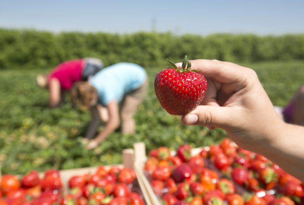 Frische Erdbeeren selbst geerntet