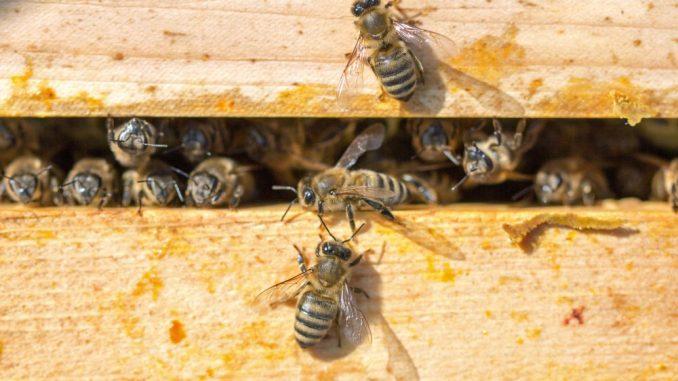 Bienen in einer Wabe am Kulturpalast. Foto: Christian Suhrbier