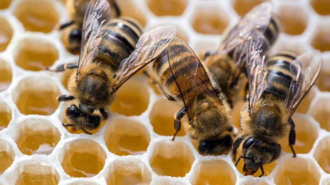 Bienen füllen Honigwaben. Foto:Michael Reichel/Archiv