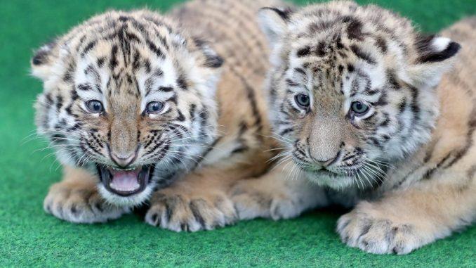 Tiger-Zwillinge im Zoo Leipzig. Foto: Jan Woitas/Archiv