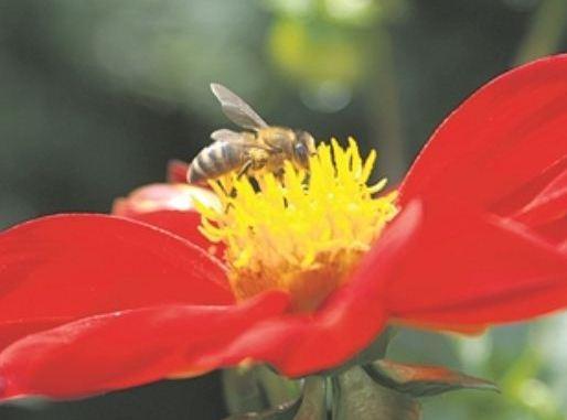 """Dahlie """"schmecken"""" Bienen besonders gut. Foto: Wolf"""