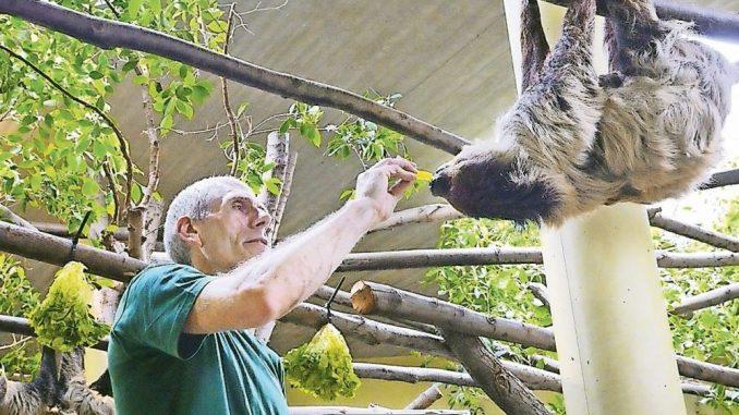 Ein Faultier hat's gut im Zoo. Und am Weltfaultiertag steht es bei den Zoobesuchern im Mittelpunkt (Foto: Christian Juppe)