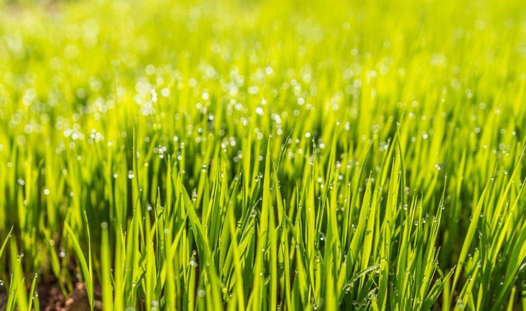 Wie oft und auf welche Höhe ein Rasen geschnitten werden sollte, hängt vom jeweiligen Typ ab. Foto: Pixabay