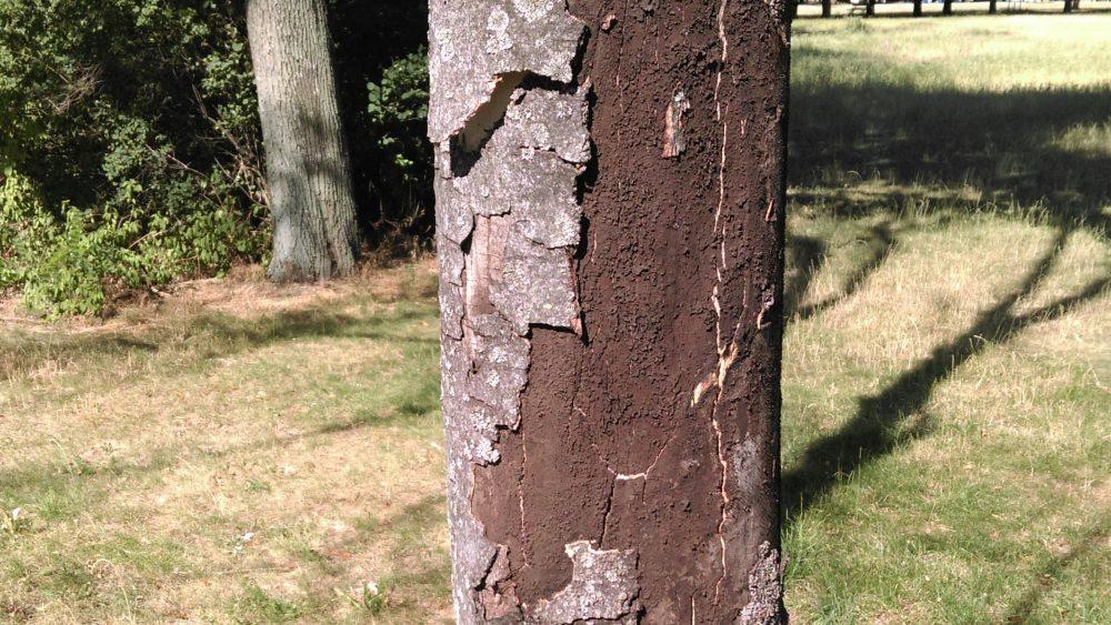 Rußrindenkrankheit Welche Bäume