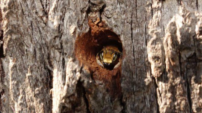 Wildbienenschutz in Dresdens Kleingärten