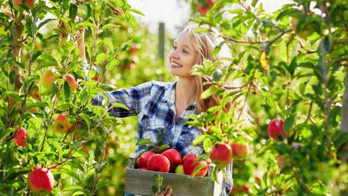 Die Apfelernte beginnt - das und vieles mehr bei Obstbau Rüdiger