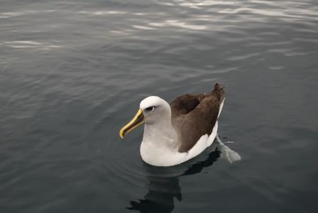 Albatrossweb