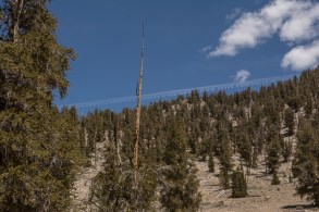 Bristlecone Forest - check out the wild contrails