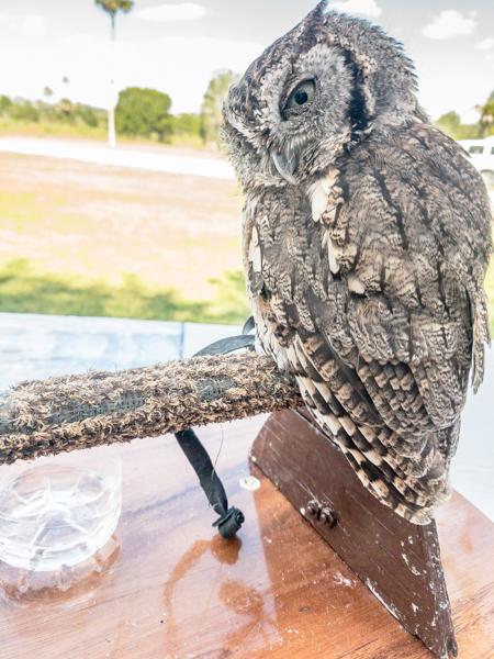 Spinner the screech owl