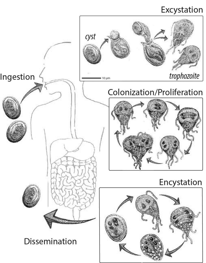 giardia cysts in environment)